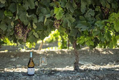 תמונה של כרם ועל האדמה מונחים כוס יין לבן ובקבוק יין